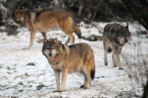 European grey wolves pictured in the Sainte-Croix animal park in Rhodes, eastern France on December 12, 2012