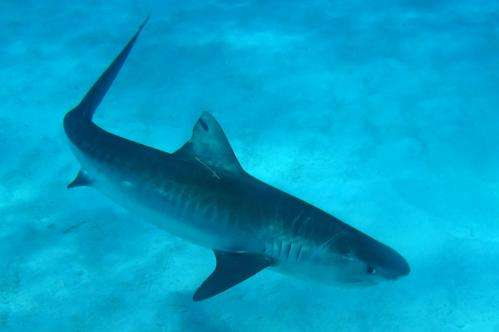 Female tiger sharks migrate from Northwestern to Main Hawaiian Islands during fall pupping season