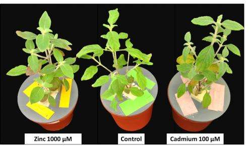 First South American plant for purifying soils contaminated with zinc and cadmium