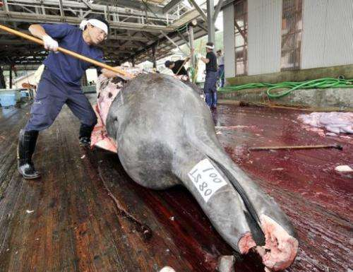 Fishermen slaughter a 10m-long bottlenose whale at the Wada port, Chiba prefecture, Japan in June 2008