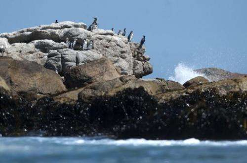 Humboldt penguins remain at the Pajaro Nino island, in Algarrobo seaside resort, west of Santiago, on March 6, 2013