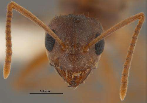 Invasive crazy ants are displacing fire ants in areas throughout southeastern US