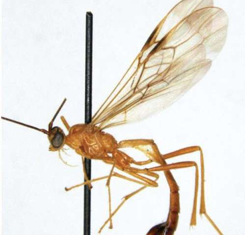 Kill Bill character inspires the name of a new parasitoid wasp species