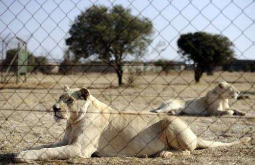 Lions bred for commercial use are pictured on August 3, 2012 at Bona Bona Game Lodge in Wolmaransstad