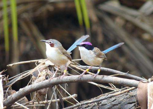 Low-pitched song indicates fairy-wren size