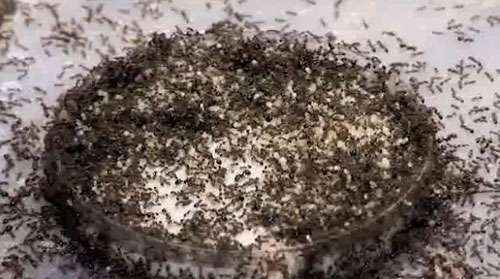 Management, not eradication, could be the key to co-existing with fire ants