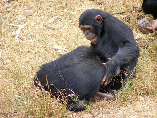 Mother chimps crucial for offspring's social skills