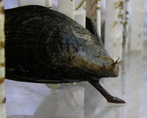 Mussels cramped by environmental factors