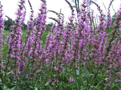 Natural selection enables purple loosestrife to invade northern Ontario