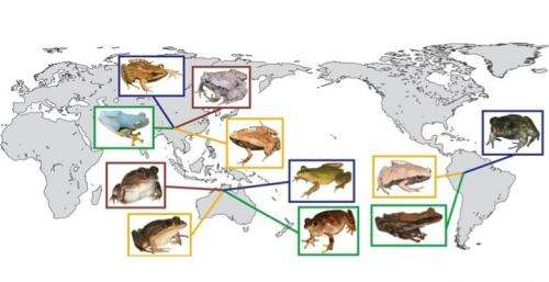 No matter the continent, the world's frogs have a lot in common, UA biologist finds