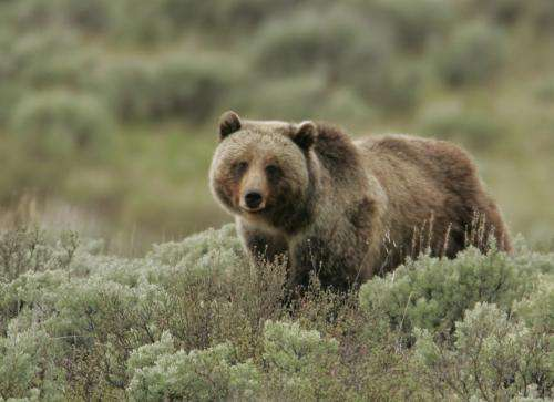 Of bears and berries: Return of wolves aids grizzly bears in Yellowstone