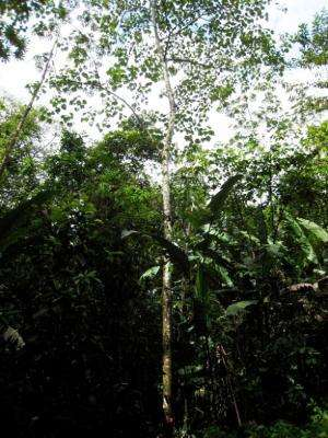One tree's architecture reveals secrets of a forest, study finds