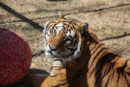 Op should reduce Texas tiger's arthritic pain