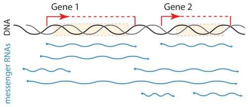 Pushing the boundaries of transcription: A new level of variation in messenger RNAs exposed