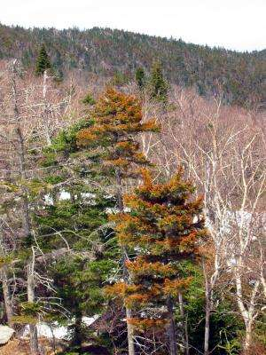 Red spruce reviving in New England, but why?