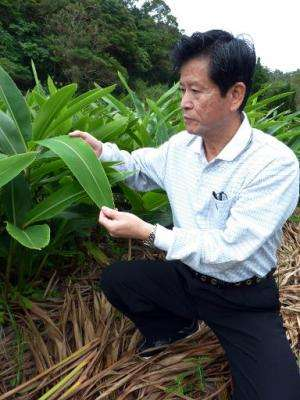 Shinkichi Tawada, professor of the faculty of Agriculture at the University of the Ryukyus, shows a leaf of 'getto' plant, in Ni