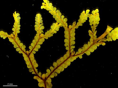 Simple plants aren't always easy: Revision of the liverwort Radula buccinifera complex