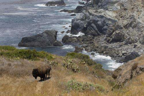 Study finds Catalina Island Conservancy contraception program effectively manages bison population