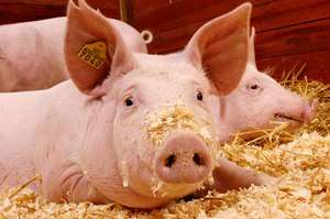 The choice of feed and feed strategies has an important effect on gilt and sow performance