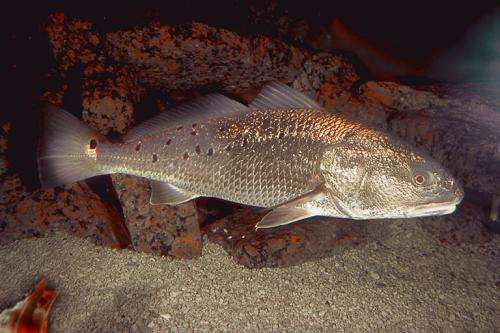 The fish and the egg: Towards a new strategy for fattening up red drum in Texas