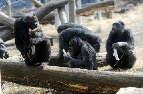 The Non Human Rights Project want chimpanzees to be given the right to freedom