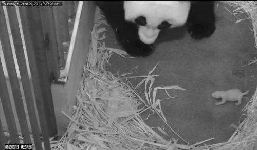 This image taken from the PandaCam and released by the Smithsonian's National Zoo in Washington, DC, on August 29, 2013, shows g