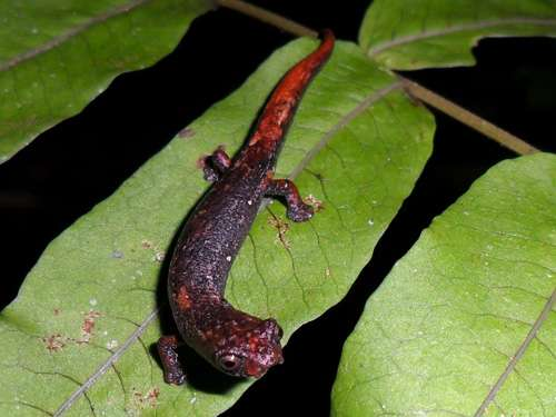 Two new salamander species discovered by Colombian researchers