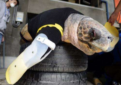 Yu, a female loggerhead turtle, wears artificial front legs at the Suma Aqualife Park in Kobe on February 12, 2013
