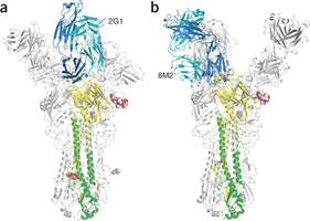 Researchers discover how some natural antibodies are able to stop flu