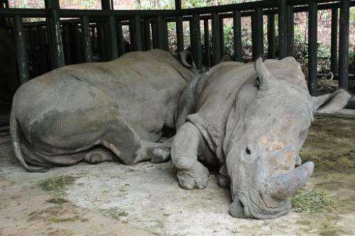 This picture taken on April 1, 2013 shows two African rhinos in Puer National Park, in southwest China's Yunnan province