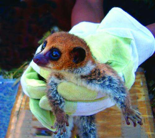 Scientists describe Lavasoa Dwarf Lemur as new primate species