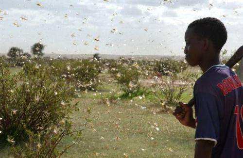 File picture shows a young Mauritanian looking at a dense swarm of desert locusts near Aleg, Mauritania, on August 9, 2004