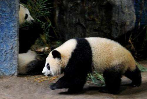 Image taken on September 19, 2010 shows giant panda Linping (R) walking past her mother Lin Hui in an enclosure at the Chiang Ma