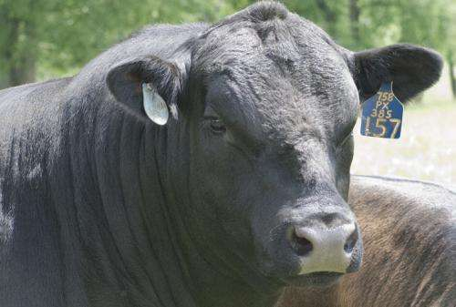 Understanding bulls' gene-rich Y chromosomes may improve herd fertility