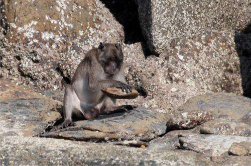 Research shows Burmese long-tailed macaques' ability to use stone tools threatened by human activity in Thailand
