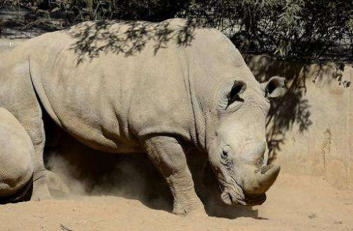 This picture taken on July 25, 2013 shows a white rhino at the Johannesburg Zoo
