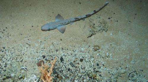 Deep-sea shark nursery found in Outer Hebrides coral reef