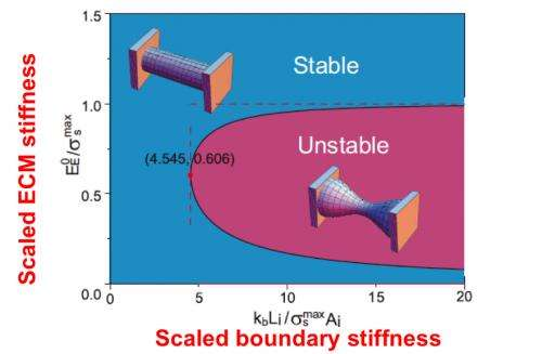 Researchers at Penn help develop a dynamic model of tissue failure