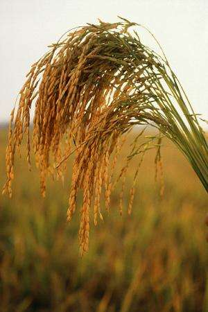 Researchers determine beneficial compounds in whole-grain rice varieties