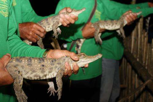 19 baby Siamese crocs released in Laos