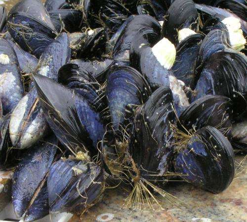 Blue mussels 'hang on' along rocky shores: For how long?