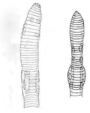 Der Steppenworm? 2 new species differ from the elusive 'Mongolian Death Worm'