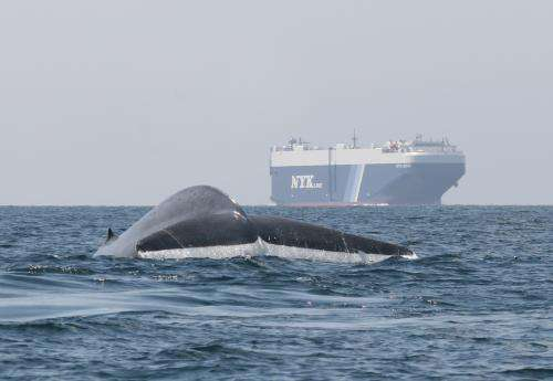 New study analyzes the risk to endangered whales from ships in southern California