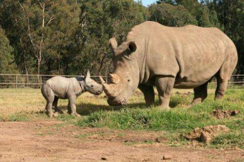 A male white rhinoceros calf is shown at Taronga Western Plains Zoo in Sydney, May 14, 2013