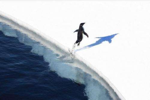 An undated handout photo released on November 1, 2011 shows a penguin as it lands on the Antarctic ice