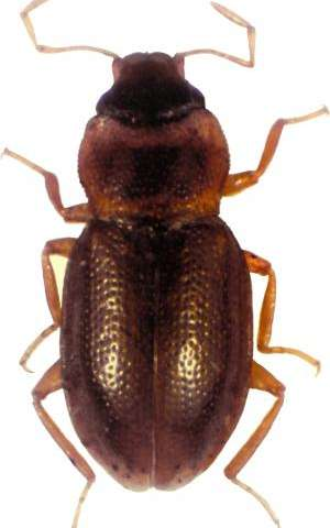 Biodiversity where you least expect it: A new beetle species from a busy megacity