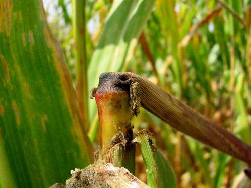 Corn pest decline may save farmers money