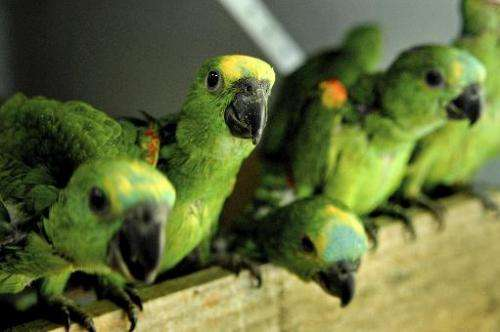 File picture for illustration shows young parrots at Seropedica Recovery Center, a reserve of the Brazilian Environmental Insti