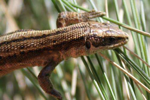First supper is a life changer for lizards