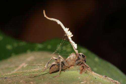 Getting to the bottom of the zombie ant phenomenon